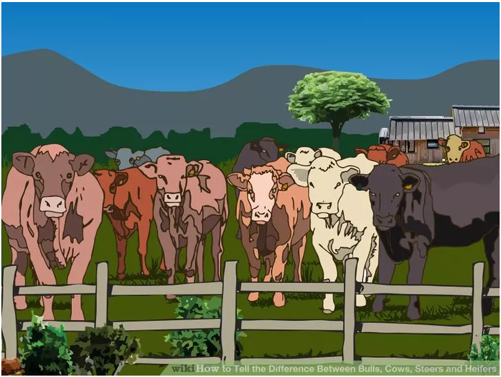 Image titled Tell the Difference Between Bulls, Cows, Steers and Heifers Step 4